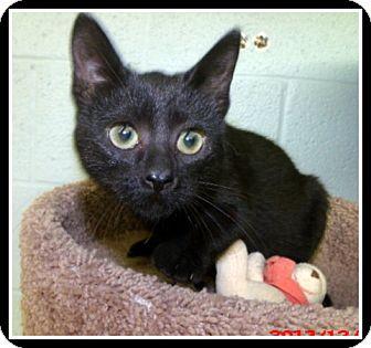 Domestic Shorthair Cat for adoption in North Little Rock, Arkansas - Midnight