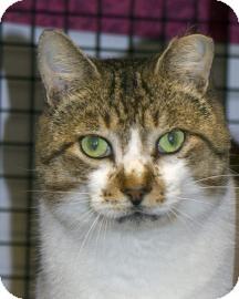 Domestic Shorthair Cat for adoption in Gainesville, Florida - Pistachio