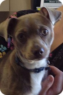 Chihuahua/Jack Russell Terrier Mix Puppy for adoption in Franklinville, New Jersey - Metro