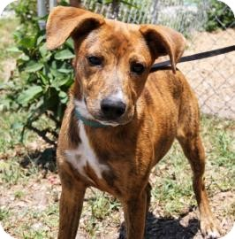 Hound (Unknown Type) Mix Dog for adoption in Bradenton, Florida - Ava