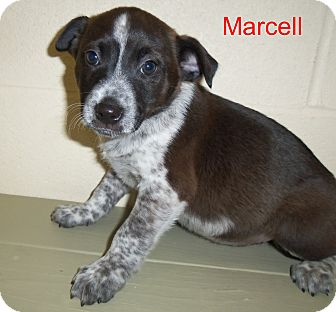 Hound (Unknown Type) Mix Puppy for adoption in Slidell, Louisiana - Marcell