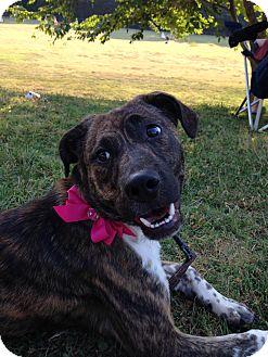Bluetick Coonhound/Labrador Retriever Mix Dog for adoption in Apex, North Carolina - Annabel/Annie