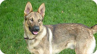 German Shepherd Dog Dog for adoption in Walnut Creek, California - Loki