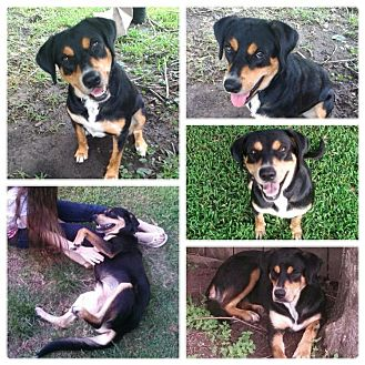 Shepherd (Unknown Type)/Rottweiler Mix Dog for adoption in Houston, Texas - Zuzu