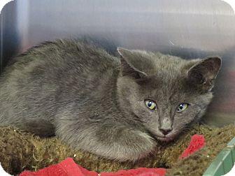 Domestic Shorthair Kitten for adoption in Chino Valley, Arizona - Atticus