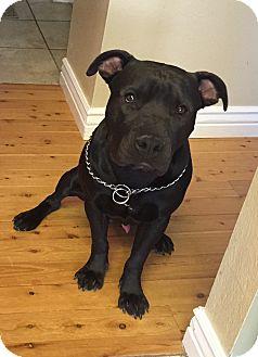 American Pit Bull Terrier/Labrador Retriever Mix Dog for adoption in Bryan, Texas - Maddox