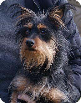 Australian Terrier Mix Dog for adoption in New Freedom, Pennsylvania - Milton *Adoption Pending*