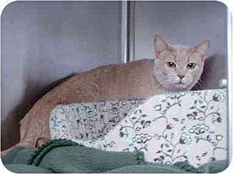 Domestic Shorthair Cat for adoption in Lavon, Texas - Lucky