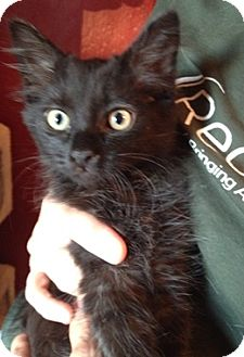 Domestic Mediumhair Kitten for adoption in North Highlands, California - Apollonia