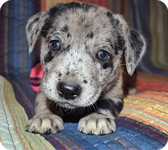 Australian Shepherd/Labrador Retriever Mix Puppy for adoption in Memphis, Tennessee - Rhubard