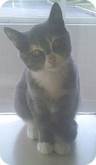 Calico Kitten for adoption in Gloucester, Virginia - SASSY PANTS