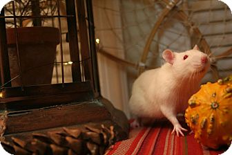Rat for adoption in Philadelphia, Pennsylvania - AMBROSE and MAXWELL