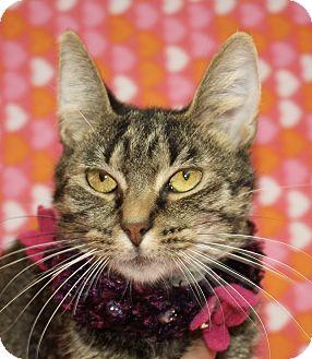 Domestic Shorthair Cat for adoption in Jackson, Michigan - Chris