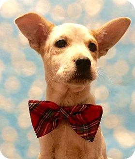 Cattle Dog/Labrador Retriever Mix Puppy for adoption in West Seneca, New York - Corduroy