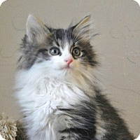 Adopt A Pet :: Tom Kitten - Davis, CA