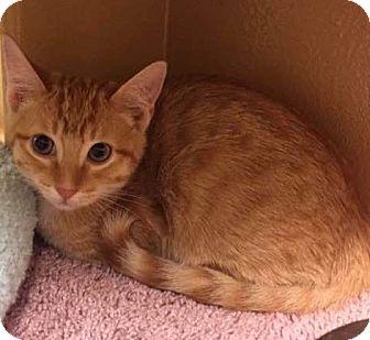Domestic Shorthair Kitten for adoption in Houston, Texas - Phoenix