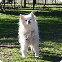 American Eskimo Dog Dog for adoption in Capistrano Beach, California - Skippy