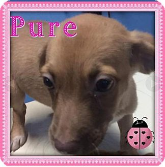Labrador Retriever/Terrier (Unknown Type, Medium) Mix Puppy for adoption in Sterling Heights, Michigan - Pure