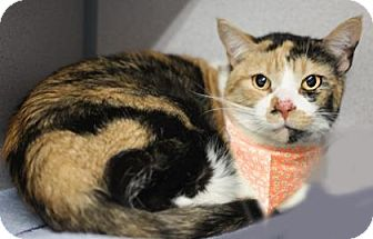 Domestic Shorthair Cat for adoption in Voorhees, New Jersey - Greta