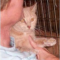 Domestic Shorthair Cat for adoption in Stuarts Draft, Virginia - Olive