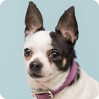 Chihuahua Mix Dog for adoption in Westfield, New York - Spot