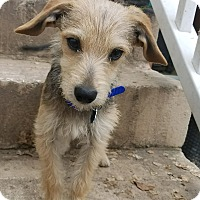 Adopt A Pet :: Royce - Lodi, CA