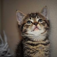 Adopt A Pet :: Kitten #85 - Pottsville, PA