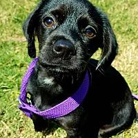 Adopt A Pet :: Skipper - Brattleboro, VT