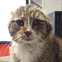 Adopt A Pet :: Flat Top - St. Louis, MO