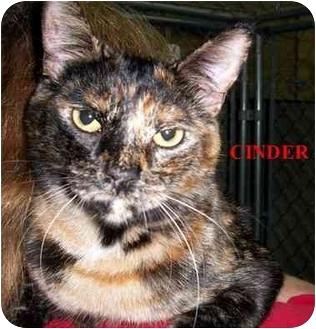 Domestic Mediumhair Cat for adoption in Slidell, Louisiana - Cinder