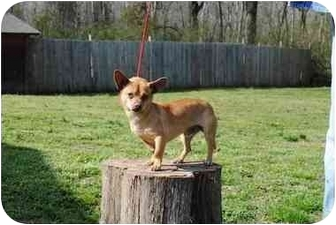 Chihuahua Mix Dog for adoption in Norwich, Connecticut - Quinn