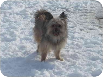 Yorkie, Yorkshire Terrier Mix Dog for adoption in Marlton, New Jersey - ToTo