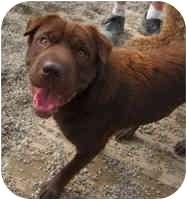 Shar Pei/Chesapeake Bay Retriever Mix Dog for adoption in Beloit, Wisconsin - Mocha