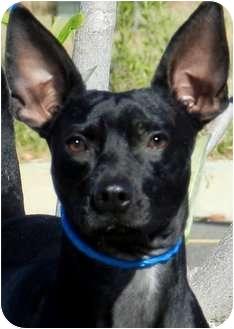 Dachshund/Manchester Terrier Mix Dog for adoption in Wakefield, Rhode Island - ZIGGY(LOVES CHILDREN!!)