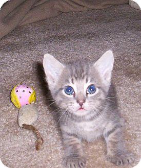 Domestic Shorthair Kitten for adoption in Orlando, Florida - Carlos