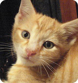 Domestic Shorthair Kitten for adoption in Brooklyn, New York - Elbow