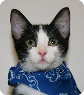 Domestic Shorthair Kitten for adoption in Flower Mound, Texas - Simba