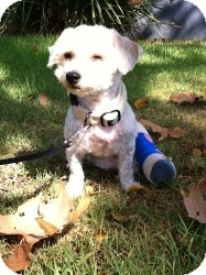 Poodle (Miniature) Mix Dog for adoption in Encino, California - Maggie