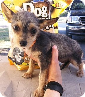 Yorkie, Yorkshire Terrier/Chihuahua Mix Puppy for adoption in Austin, Texas - Madison