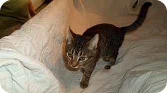 American Shorthair Cat for adoption in Hazard, Kentucky - Ernee