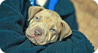 Pit Bull Terrier Mix Puppy for adoption in Hillsborough, New Jersey - Reese