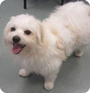 Havanese/Maltese Mix Dog for adoption in Bloomington, Indiana - Crisco