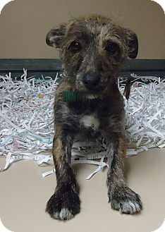 Terrier (Unknown Type, Small) Mix Puppy for adoption in Fremont, Nebraska - Curly