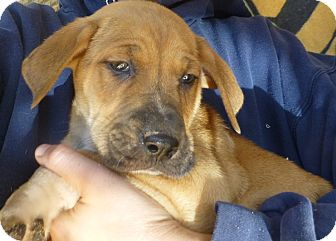 Boxer/Labrador Retriever Mix Puppy for adoption in Oviedo, Florida - Brook