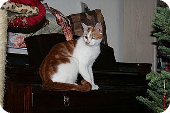 Domestic Shorthair Cat for adoption in Santa Rosa, California - Sebastion