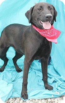 Labrador Retriever/Shepherd (Unknown Type) Mix Dog for adoption in New Roads, Louisiana - Beaux