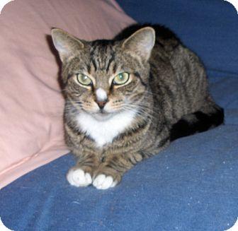 Domestic Shorthair Cat for adoption in Richmond, Virginia - Jax