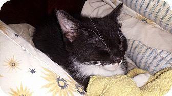 Domestic Shorthair Kitten for adoption in Gainesville, Florida - Grace