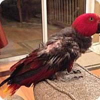 Adopt A Pet :: Pretty Bird - St. Louis, MO
