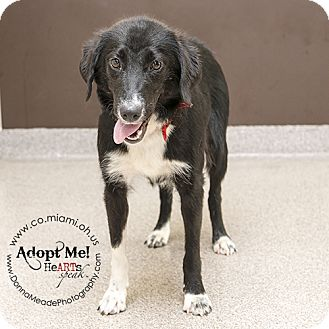 Border Collie Mix Dog for adoption in Troy, Ohio - Jessie
